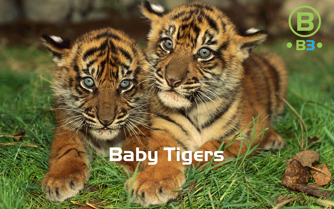 baby tigers b3 entertainment productions inc