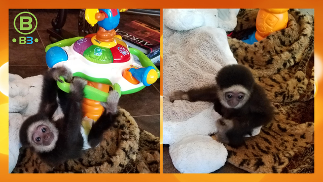 Baby Gibbon! - B3 Entertainment Productions, Inc.