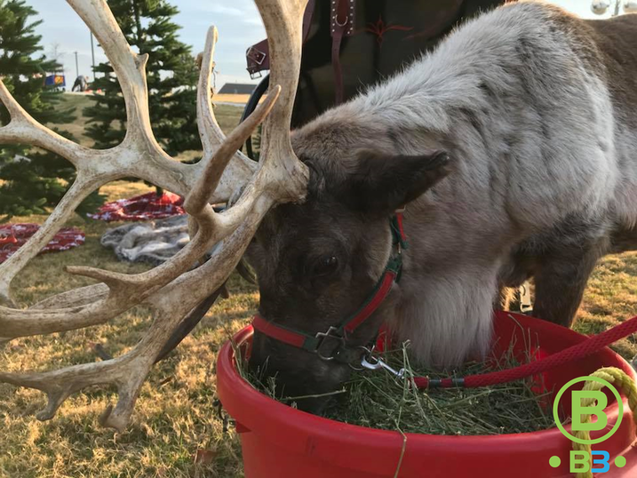 Live Reindeer For Your Texas Event